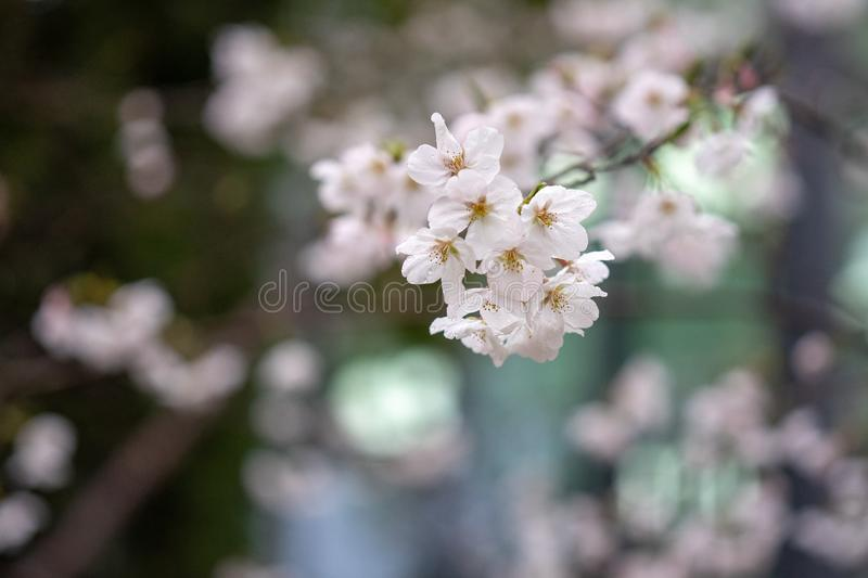 Some beautiful Pear Blossoms. These are the Pear Blossoms I found in my school. They are so beautiful that I took several pictures of them when the school is royalty free stock images