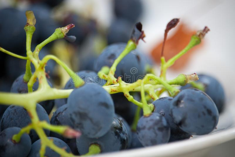 Extremely close-up branch with wild blue grapes, selective focus stock photo