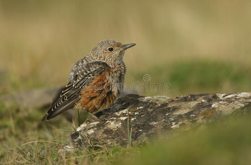 An extremely rare juvenile Rock Thrush Monticola saxatilis perched on a rock in Wales, UK. A rare juvenile Rock Thrush Monticola saxatilis perched on a rock in stock images