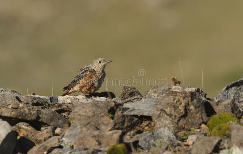 An extremely rare juvenile Rock Thrush Monticola saxatilis perched on top of a pile of rocks in Wales, UK. Extremely rare juvenile Rock Thrush Monticola stock photo