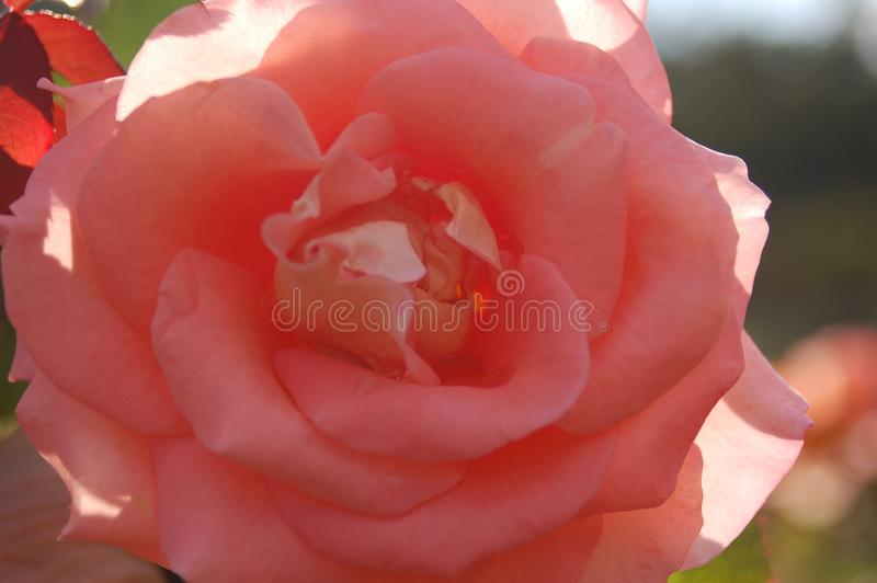 Extremer Abschluss oben der rosa Blume im Schatten stockfotos