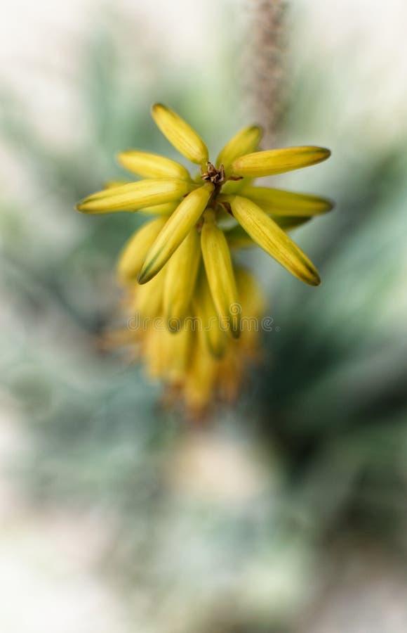 Extremer Abschluss oben von unzähligen rosa Staubgefässen einer gelben Blume Makrophotographie, selektiver Fokus, bokeh Hintergru lizenzfreie stockfotografie