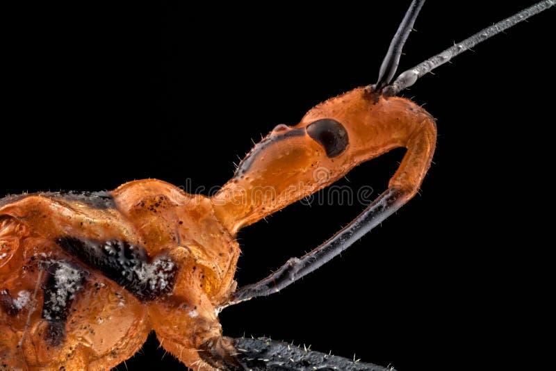 Extremes Makro eines Milkweed-Meuchelmörders stockbild