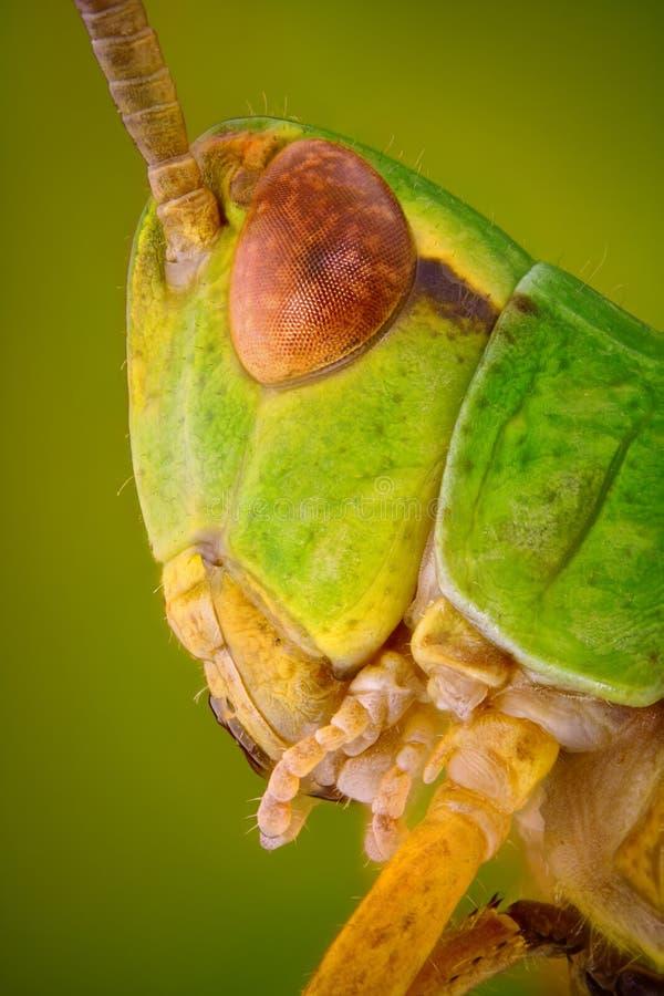 Extremes scharfes und ausführliches Makroporträt des grünen Heuschreckenkopfes genommen mit Mikroskopziel stockfotos