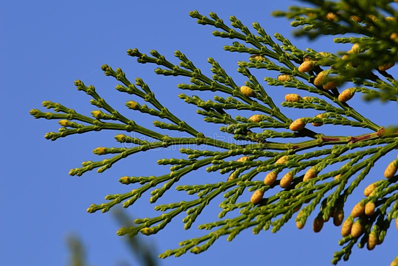 Extremidad de la rama conífera de los decurrens del Calocedrus del cedro de incienso con los pequeños conos amarillos visibles, f foto de archivo libre de regalías