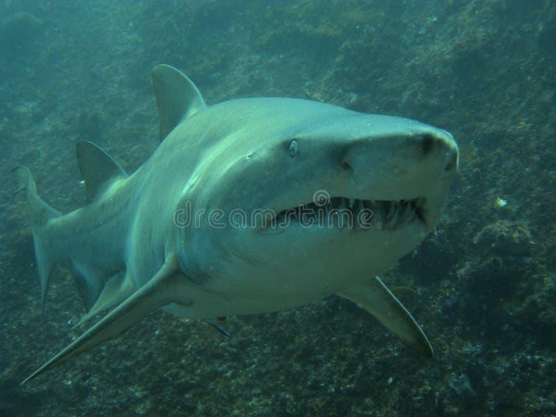 Extremidade do negócio de um tubarão de enfermeira cinzento imagem de stock