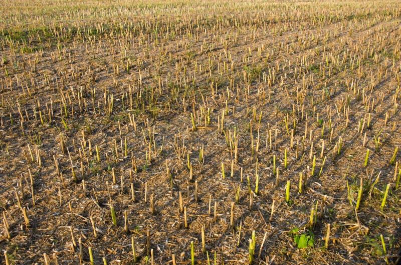 A extremidade do verão viola o fundo do campo após a colheita fotografia de stock