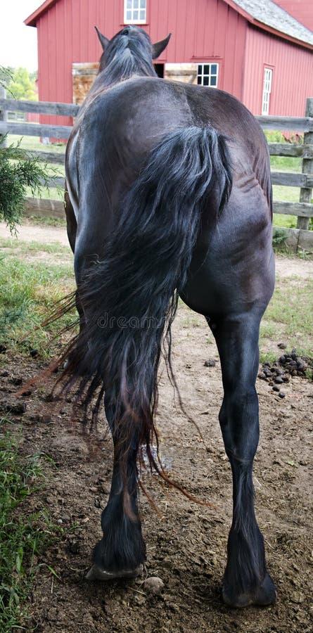 Extremidade engraçada do cavalo, parte traseira, parte traseira, burro imagem de stock