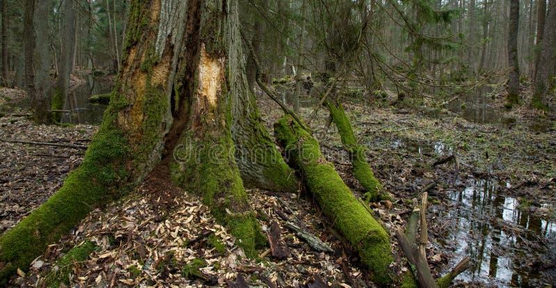Extremidade muito velha do carvalho na área dianteira do pantanal imagem de stock royalty free