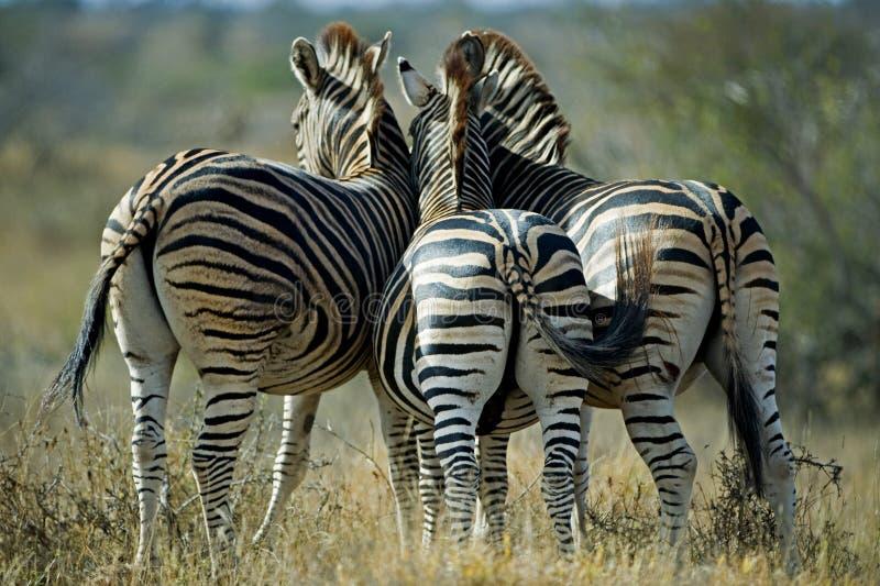 Extremidades da zebra fotos de stock royalty free
