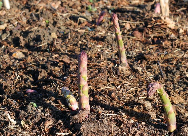 Extremidades del espárrago en la primavera. fotos de archivo