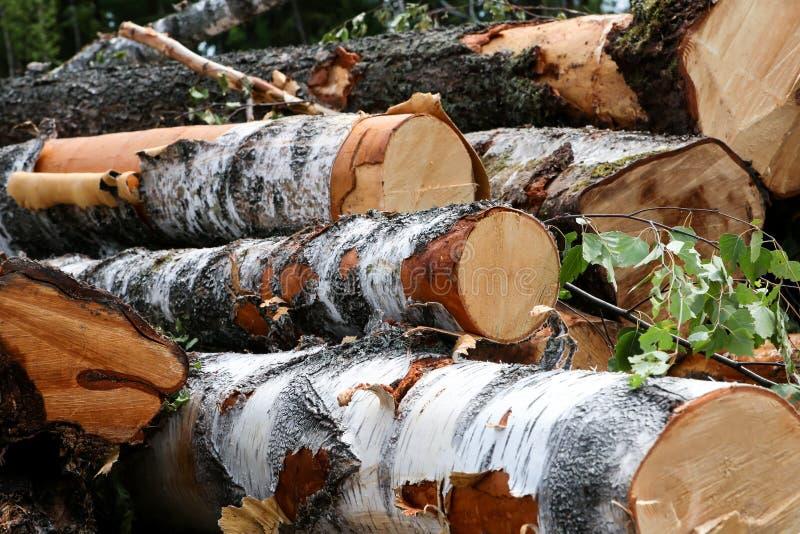 Extremo igual derramado grande de los troncos del abedul de una rama del registro del primer verde de las hojas con la corteza bl fotografía de archivo libre de regalías