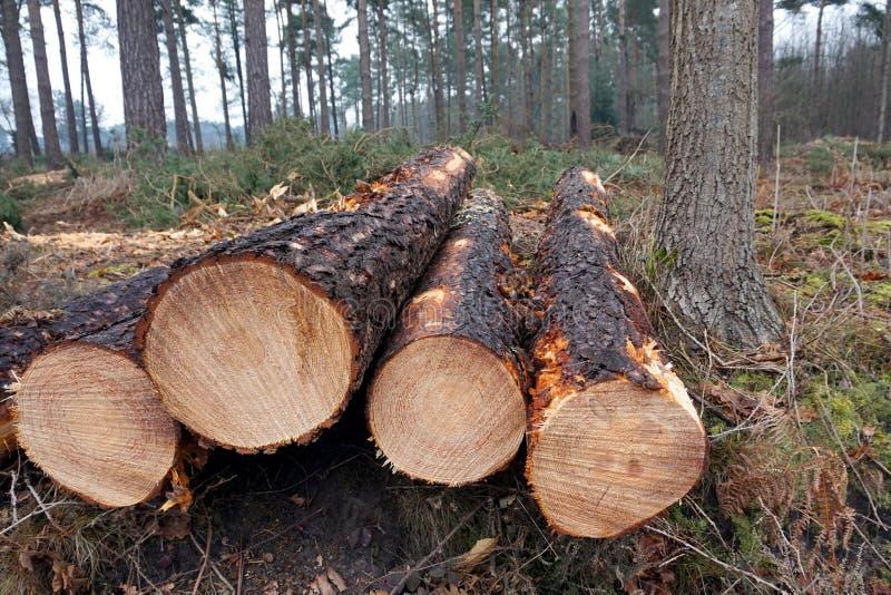 Extremos de los árboles de pino reducidos al borde de un bosque fotos de archivo libres de regalías