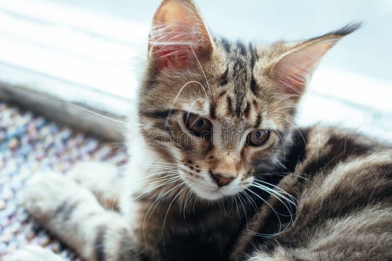 Extremt closeupstående av den inhemska tricolor strimmig kattMaine Coon kattungen få gamla månader royaltyfri fotografi