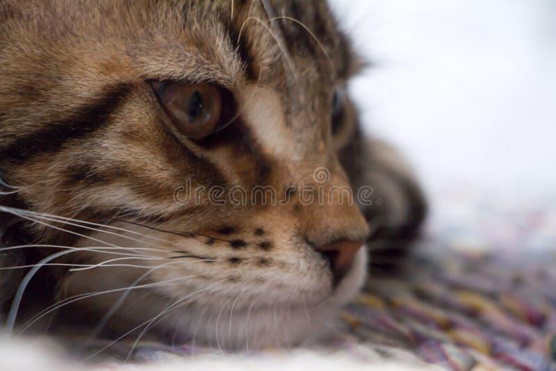 Extremt closeupst?ende av den inhemska tricolor strimmig kattMaine Coon kattungen f? gamla m?nader royaltyfri bild