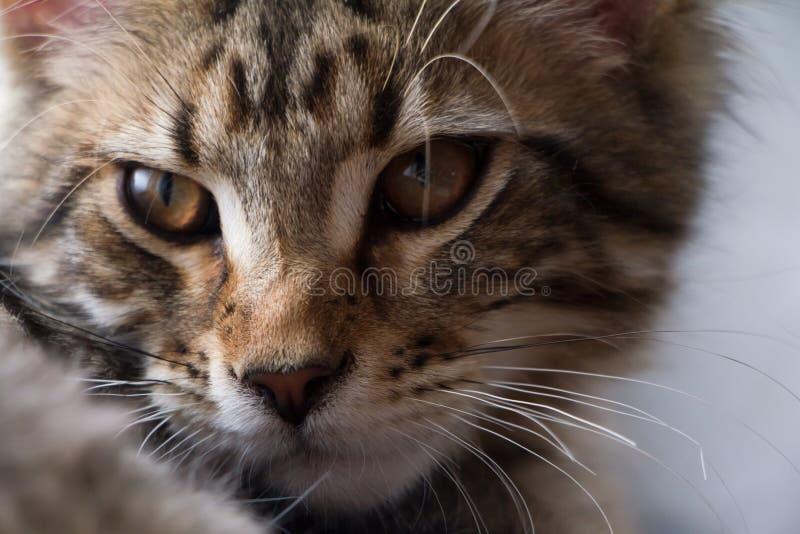 Extremt closeupst?ende av den inhemska tricolor strimmig kattMaine Coon kattungen f? gamla m?nader arkivfoto