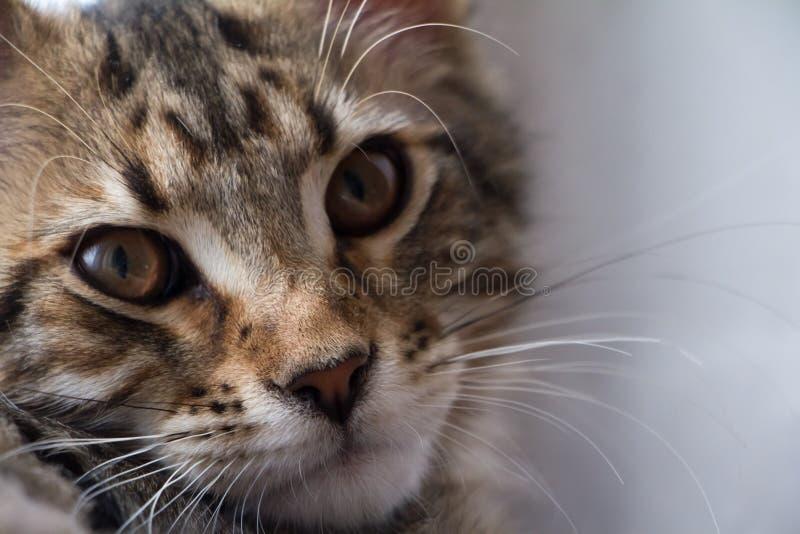 Extremt closeupst?ende av den inhemska tricolor strimmig kattMaine Coon kattungen f? gamla m?nader fotografering för bildbyråer