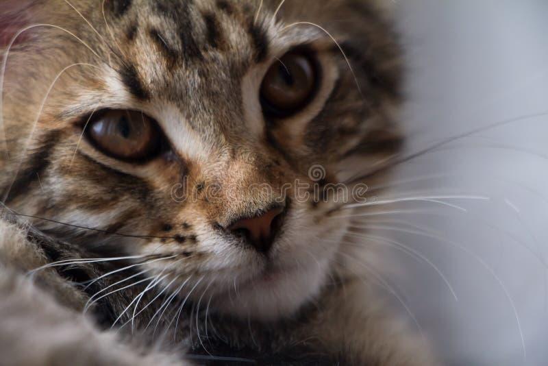 Extremt closeupst?ende av den inhemska tricolor strimmig kattMaine Coon kattungen f? gamla m?nader royaltyfri foto