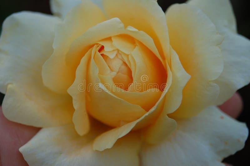 Extremt slut upp av den gula blomman med vita spetskronblad royaltyfri bild