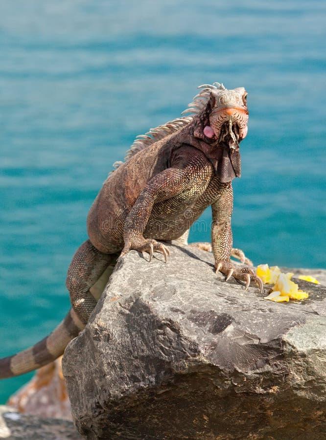 Exuma Iguana in St. Thomas, Caribbean. Exuma Iguana sitting on a rock wall in St. Thomas, Caribbean royalty free stock photography