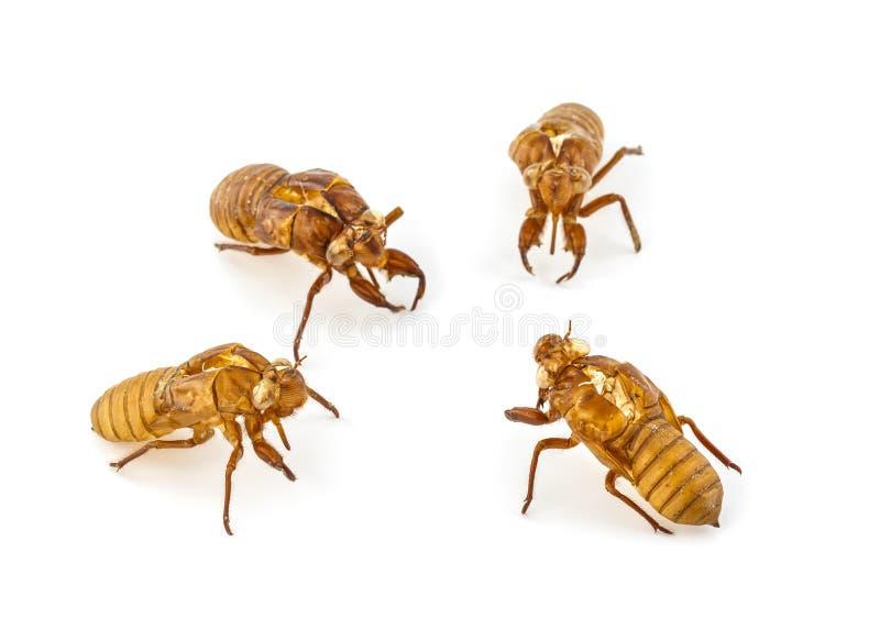 Exuviae van cicade royalty-vrije stock foto's