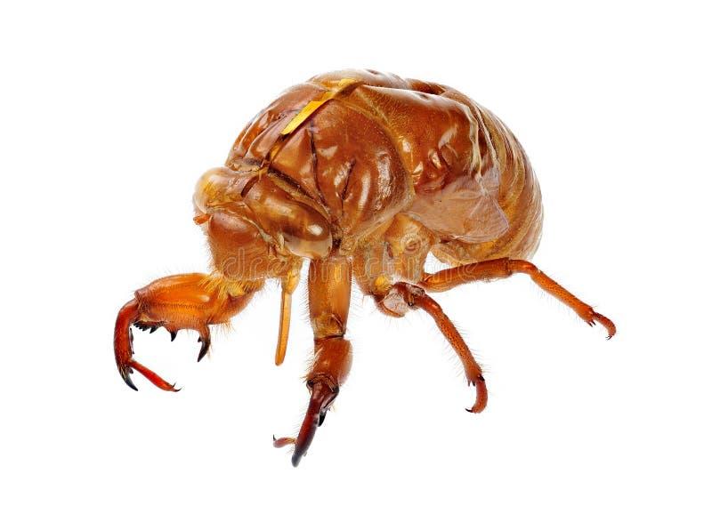 Exuviae van een Cicade royalty-vrije stock afbeeldingen