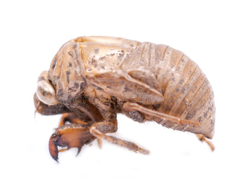 Exuvum do shell da ninfa da cigarra Emergência da cigarra periódica Exoskeleton das ninfas da metamorfose Larva ha fotografia de stock royalty free