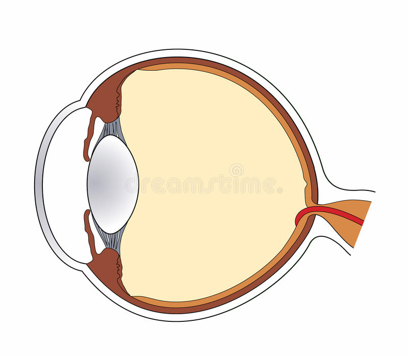 Eye 1. Cross section of eye showing all major structures stock illustration