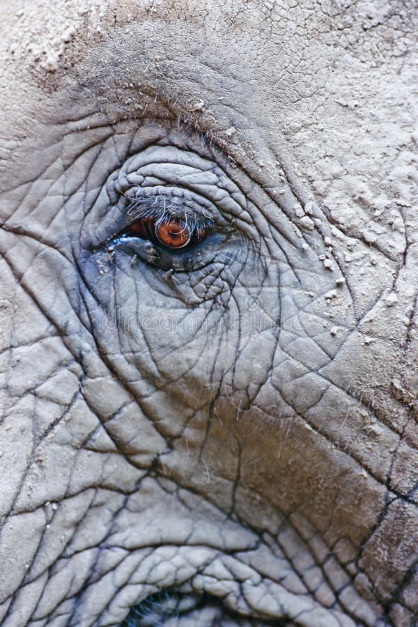 Eye Of African Elephant Royalty Free Stock Photo