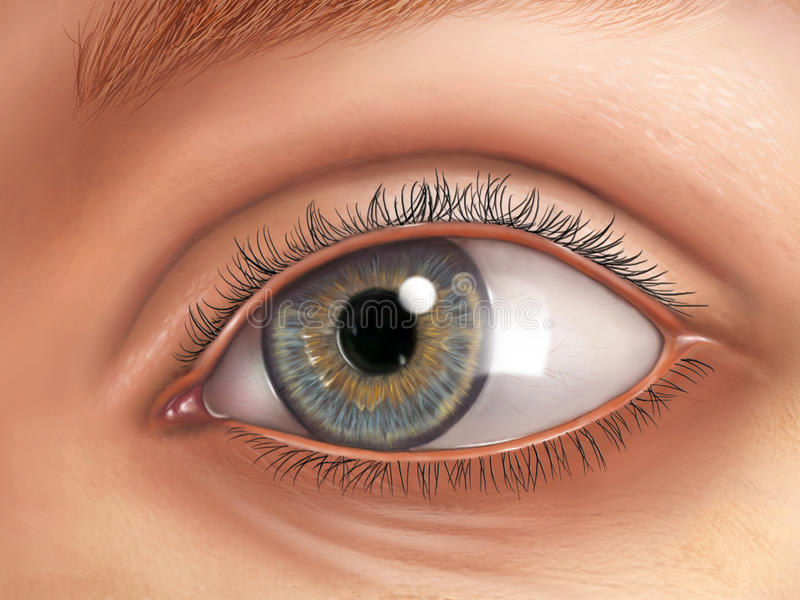 Eye anatomy. External view of an healthy human eye. Digital illustration vector illustration