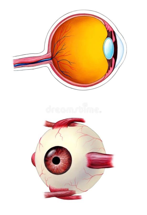 Download Eye anatomy stock illustration. Image of anatomy, zonule - 6454923