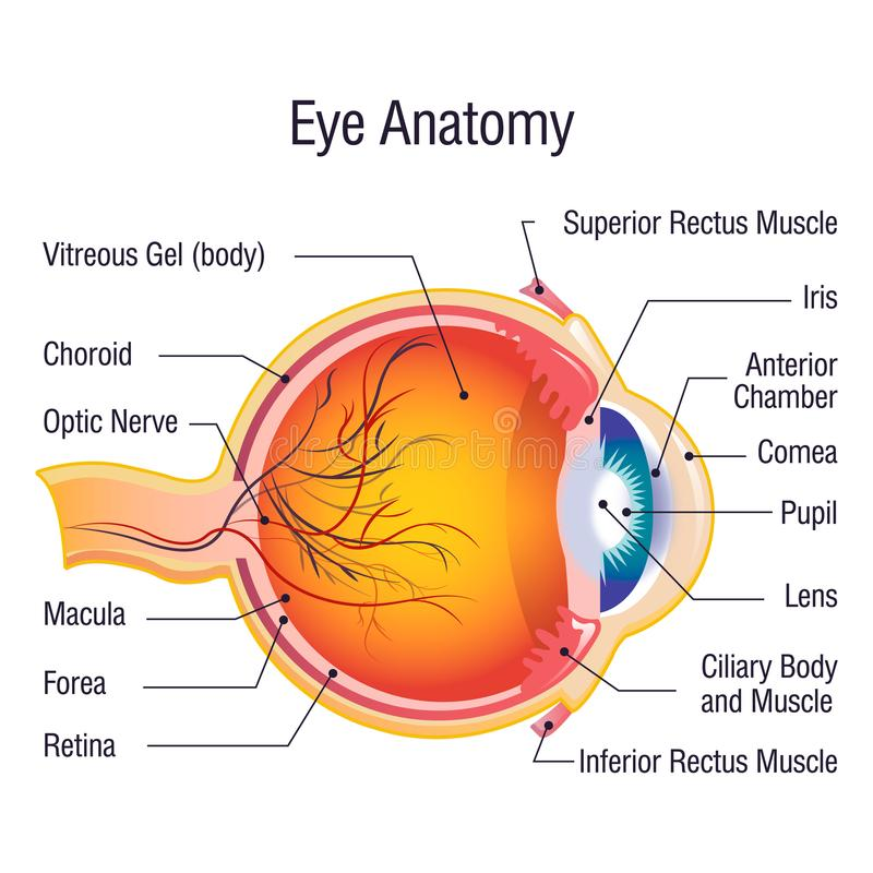 Eye anatomy info concept background, cartoon style. Eye anatomy info concept background. Cartoon illustration of eye anatomy info vector concept background for royalty free illustration