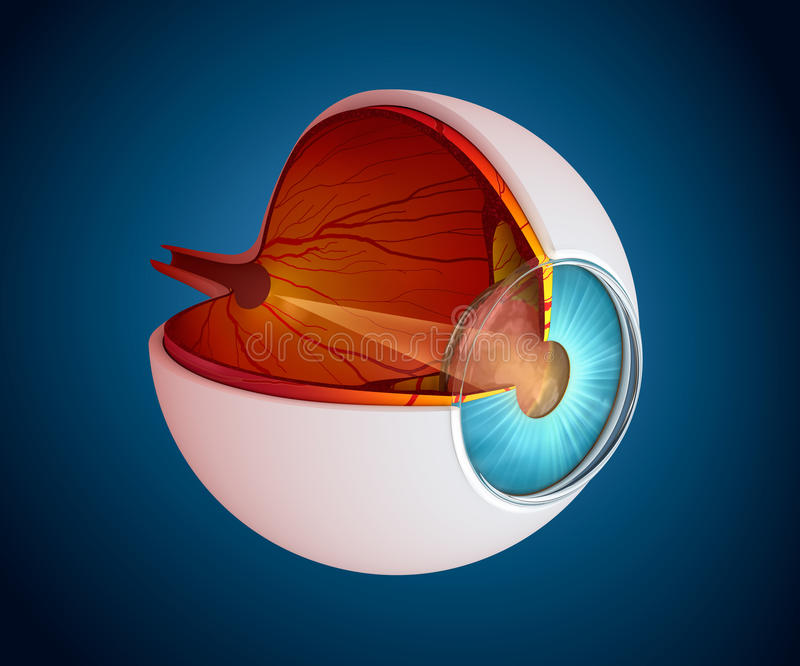 Eye anatomy - inner structure isolated vector illustration