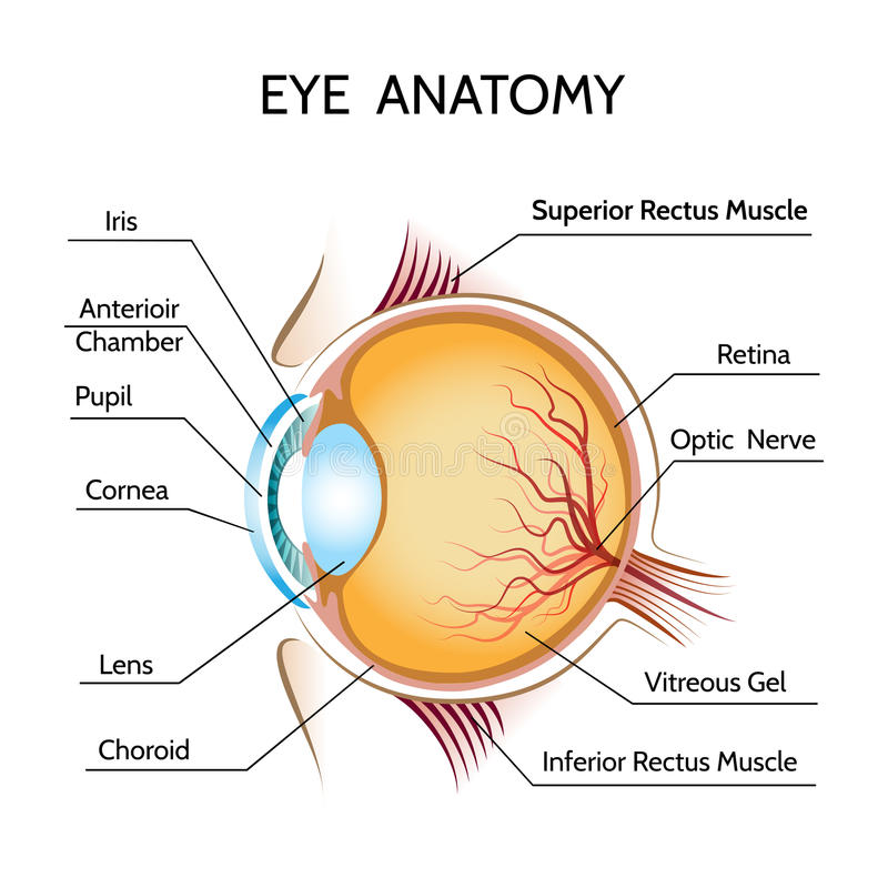 Eye anatomy. Iris and optic, pupil and vision, medical science, retina and nerve, eyeball vector illustration royalty free illustration