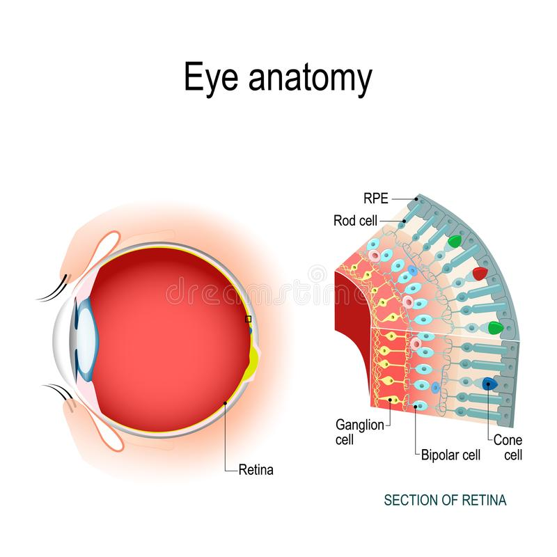 Eye anatomy. Rod cells and cone cells. The arrangement of retinal cells is shown in a cross section. Vector diagram for your design, educational, biological stock illustration