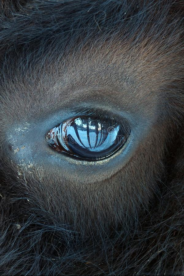 The eye of the beast is piercing. stock photo