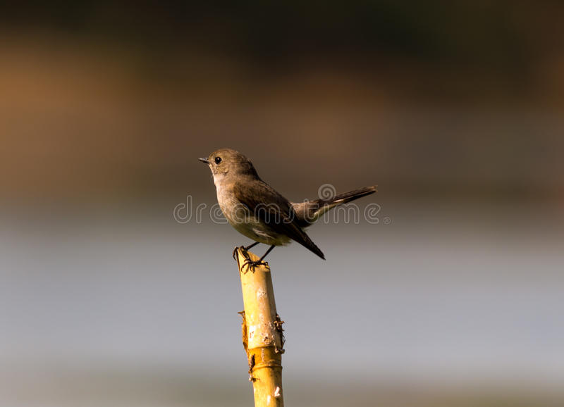 The eye of a Bird. A bird waiting on a bamboo to take his meal royalty free stock photo