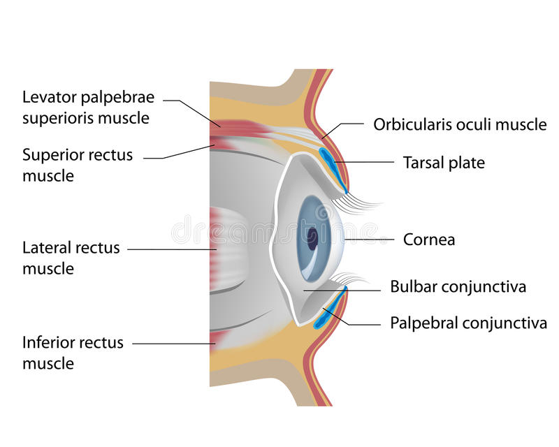 Eye conjunctiva. And other accessory structures of the orbit, eps10 royalty free illustration
