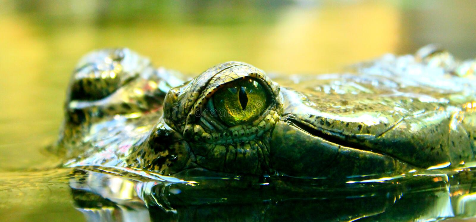 Eye of crocodile (indian gavial) royalty free stock images