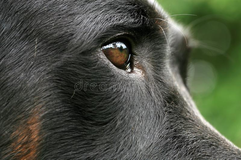 Eye dogs, visual perception. Eye dogs with reflection. Animal visual perception, macro photography royalty free stock photography