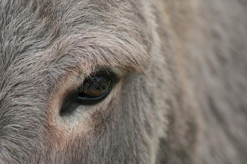 eye of donkey in a meadow royalty free stock image
