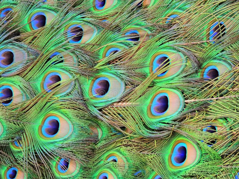 Eye for an Eye. Beautiful colors dominate a peacocks show stock images