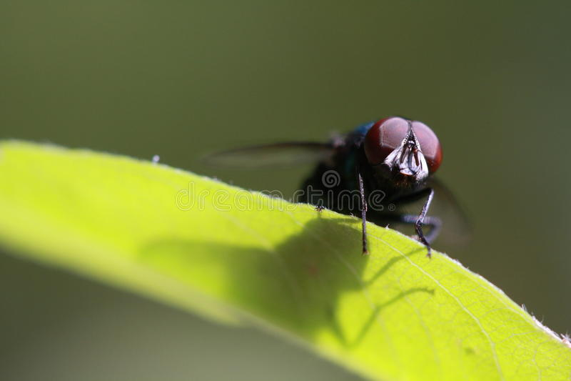 Eye of fly. Fly is on the leaf with shadow stock photography