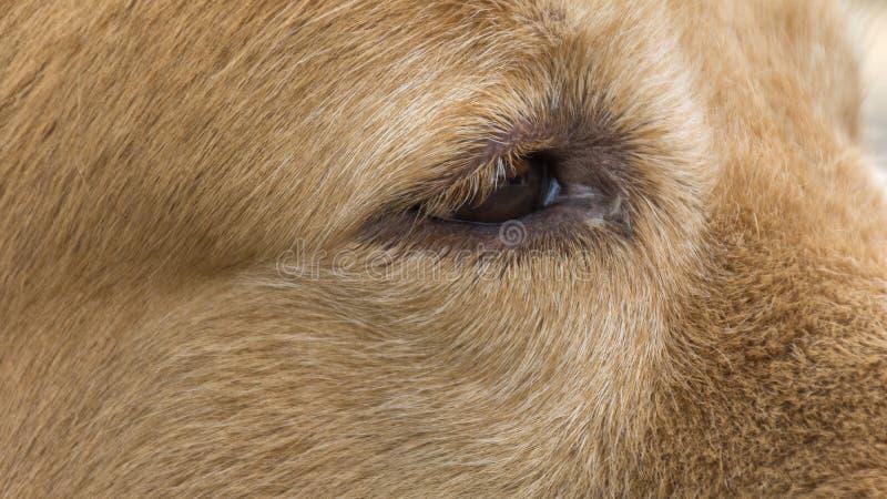 Eye of the Golden Dog royalty free stock image