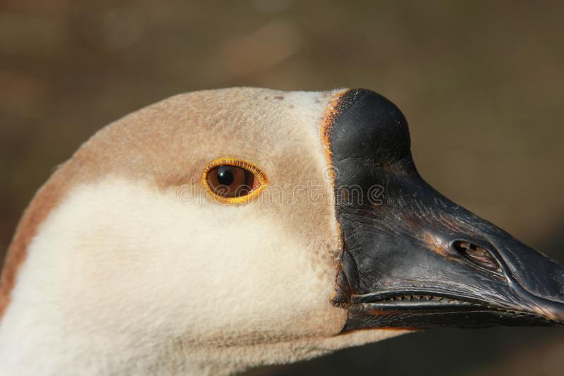 The eye of the goose. The goose head. Closeup. The background out of focus stock photo