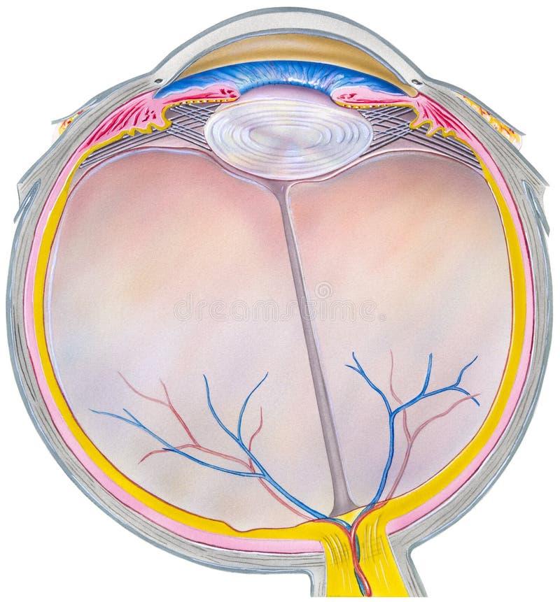 Eye - Horizontal Section. A human eyeball showing internal structures: iris, anterior limiting membrane, posterior limiting membrane, tendon of lateral rectus stock illustration