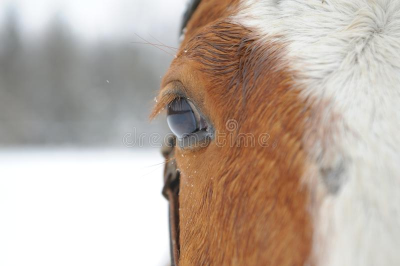 Eye Of Horse Stock Images