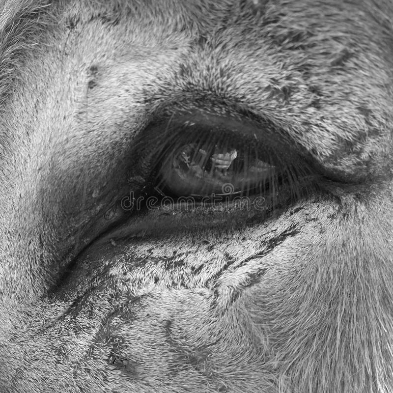 Eye of a horse royalty free stock photography
