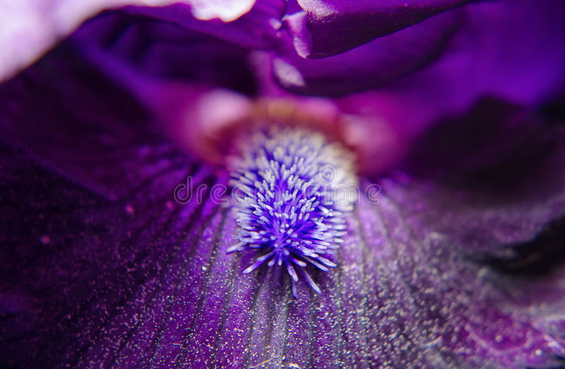 Eye of Iris. Stigma of Iris is a close-up of the stigma of an Iris bloom stock image