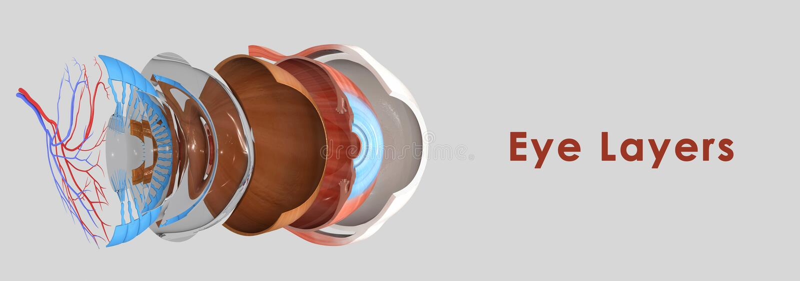 Eye layers. The eye is composed of three layers, each of which has one or more very important components vector illustration